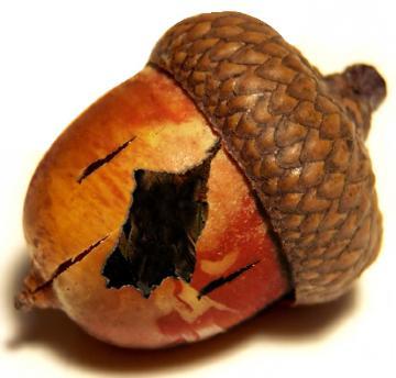 acorn_rotten